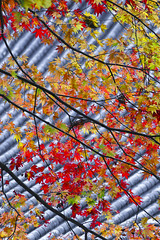 Momiji and Templeroof (DanÅke Carlsson) Tags: japan japanese nikko temple roof momiji maple autumn fall colors red orange