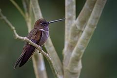 Brown inca (Eric Gofreed) Tags: browninca coeligenawilsoni ecuador hummingbird mindolomacloudforestrefuge