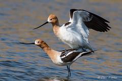 American Avocet Mating Series, 3 of 5 (OC Birds) Tags: animalwildlife california feather nature americanavocet nopeople bird animal