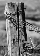 Fencepost (trochford) Tags: fencepost wood wooden old rough weathered texture wire barbedwire balingwire bokeh colfax colfaxwa colfaxwashington wa washington us usa unitedstates bw bnw blackandwhite blackwhite noiretblanc blancoynegro mono monochrome canon canon6d ef70200mmf4lisusm ef70200