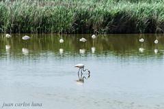 FLAMENCO (juan carlos luna monfort) Tags: ave pajaro bird birding deltadelebro deltadel´ebre rietvell laguna reflejo nikond810 sigma150500 calma paz tranquilidad