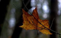 London plane - Platano (Platanus acerifolia) (by emmeci) Tags: novembre parcodimonza autunno platanofoglia platano londonplane platanusacerifolia foglia atmosfereautunnali