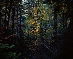 A bit of summer light in an autumn forest (Zeb Andrews) Tags: pentax67 forestpark trees film kodakektar100 portland oregon pacificnorthwest fall autumn fallcolors 6x7