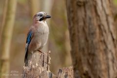 Geai des chênes (Garrulus glandarius)-6 (lolo_31) Tags: aves birds corvidae corvidés eurasianjay garrulusglandarius geaideschênes oiseaux passériformes