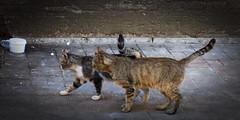 cat 116 (8pl) Tags: chats cats rue street stpétersbourg russie marche deuxchats mouvement pavé trottoir mur écuelle déplacement promenade promenadeféline félin