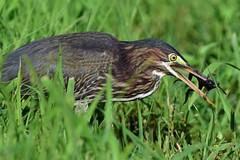 DSC1191  Green Heron (laurie.mccarty) Tags: greenheron bird birding birdwatcher nature naturephotography wildlife outside green