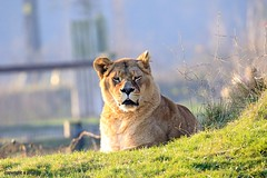 J78A1739 (M0JRA) Tags: wildlife parks doncaster people visitors animals lions tigers cats keepers otters otts