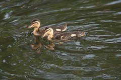 Just the two of us 1. (tony allan tony allan) Tags: ducklings ducks wildlife nature naturalworld m42 manualfocus legacyglass lens nikond5300 hoya200mmlens water pond