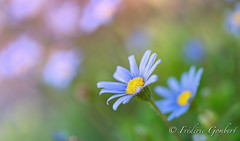 In the field (frederic.gombert) Tags: floweer flowers blue light autumn fall macro sony plant
