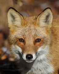 246A0041v2sig (davidbrandes) Tags: fox wildlife nature canon