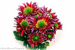 IMG_4131 (richardbrunton) Tags: chrysanthemums red yellow green white background