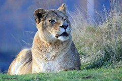 J78A1752 (M0JRA) Tags: wildlife parks doncaster people visitors animals lions tigers cats keepers otters otts