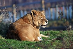 J78A1767 (M0JRA) Tags: wildlife parks doncaster people visitors animals lions tigers cats keepers otters otts