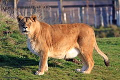 J78A1780 (M0JRA) Tags: wildlife parks doncaster people visitors animals lions tigers cats keepers otters otts