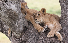 Happy Caturday! (AnyMotion) Tags: lion löwe pantheraleo cub cubs young jung tree baum liontree 2018 anymotion morukopjes serengeti tanzania tansania africa afrika travel reisen animal animals tiere nature natur wildlife 7d2 canoneos7dmarkii ngc npc