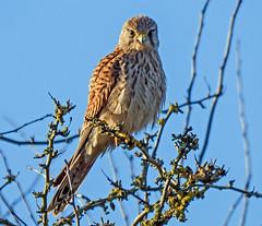 You looking at Me (Nigel B2010) Tags: kestrel hawk raptor tree sky blue portrait sun winter december attenborough nottinghamshire nature reserve wildlife countryside