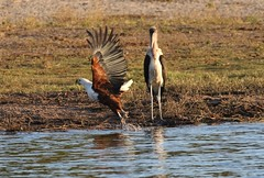 African Fish Eagle (haliaeetus vocoder) taking off from the river beside Marabou Stork (leptoptilos crumenifer) (Paul Cottis) Tags: chobe botswana africa paulcottis 25 june 2019 evening mammal raptor eagle stork