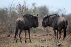 Am I as ugly as you? (leendert3) Tags: leonmolenaar southafrica krugernationalpark wildlife wilderness wildanimal nature naturereserve naturalhabitat bluewildebeest mammal naturethroughthelens ngc npc