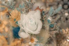 美麗凍結 - 永生花 (ZongChen WU) Tags: sony sonyalpha sonya7r3 flower 永生花