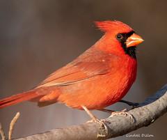 Redbird (Lindell Dillon) Tags: northerncardinal redbird bird birding ebird nature oklahoma normanok wild