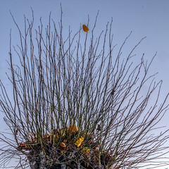 Hanging on....(2 of 2) (Patricia Wilden) Tags: ©patriciawilden2019 hangingon autumn remains leaf golden branches tree minimal outdoor lumixdmcgm1 mirrorless 43 squarecrop nature sky lookingup