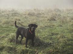 Soft light (Glenn D Reay) Tags: dog labrador black fog mist openground morning pentaxart pentax k70 pentax55300plm glennreay