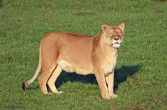 J78A1802 (M0JRA) Tags: wildlife parks doncaster people visitors animals lions tigers cats keepers otters otts