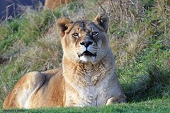 J78A1759 (M0JRA) Tags: wildlife parks doncaster people visitors animals lions tigers cats keepers otters otts