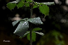 07_Después de la lluvia (Anavicor) Tags: hoja rosal feuille leaf rosebush drop gota lluvia rain pluie garden jardin parque park parco bokeh nikon d5300 tamron16300mm anavicor villarcorreroana anavillar dark green verde macro