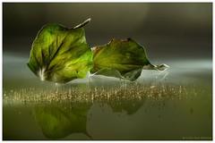 Helix (Lucie van Dongen) Tags: reflets reflection green lumière autumn creative lightpainting lierre studio light artistic composition leaf macro helix
