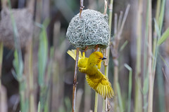 Yellow weaver (Ploceus subaureus) (Asif Kassam) Tags: yellow weaver stlucia nest canon5dmarkiv bird feathers canon birdwatching birdphotography isimangaliso reeds redeye beak