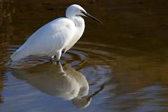 Photo of Little Egret on River Hamble, nr Warsash, UK