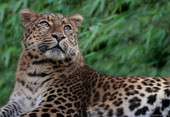 chin. Leopard * (gaby.harig) Tags: 405419 natur tiere säugetiere chinesiche leoparden zoo hannover