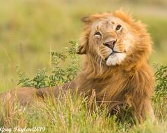 Fighting Off Flies (Greg Taylor Photography) Tags: lion carnivore kenya africa savanna masai mara canon