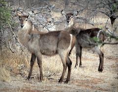 Waterbuck in Kruger (RJAB2012) Tags: waterbuck antelope kruger southafrica