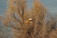 A pheasant flight (Inka56) Tags: pheasant flight bird wildlife trees branches