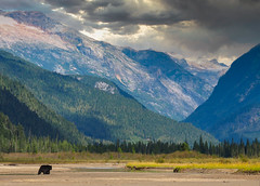 into the wild (Simple_Sight) Tags: canada bear blackbear animal mammal wilderness outdoors nature landscape mountins bc forest woods travel ngc npc