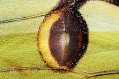 Ocelle Actias sinensis (Stéphane.N) Tags: nature insecte papillon lépidoptère moth macro butterfly saturniidae eyespot yellow jaune