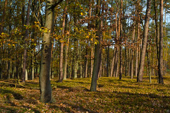 In the woods (Slav.Burn) Tags: woods forest autumn colors trees sunlight october smcfa28mmf28 pentaxart poland laspiwnicki natureinfocusgroup