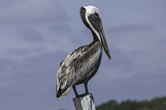 Pelican (Klaus Ficker --Landscape and Nature Photographer--) Tags: bird pelican nature cost life wildlife waterbird pelecanidae kentuckyphotography klausficker canon eos5dmarkiv