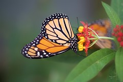 Borboleta (Carlos Santos - Alapraia) Tags: borboleta butterfly ngc flickrcentral ourplanet animalplanet canon nature natureza wonderfulworld highqualityanimals unlimitedphotos fantasticnature