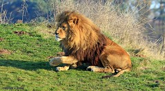 J78A1792 (M0JRA) Tags: wildlife parks doncaster people visitors animals lions tigers cats keepers otters otts