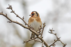 Goldfinch (drbut) Tags: goldfinch cardueliscarduelis finches farmland hedgerow woods avian bird birds wildlife nature