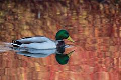 On reflection (Mibby23) Tags: mallard anas platyrhynchos bird waterfowl nature reflection autumn colour watermead lake canon 5dmk4 sigma 150600mm contemporary duck wildlife