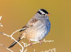 White-Crowned Sparrow (Ed Sivon) Tags: america canon nature lasvegas wildlife western wild white southwest desert clarkcounty vegas flickr bird henderson nevada 500mm preserve