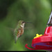 20180612_24 Female rufous hummingbird (Selasphorus rufus) hovering by feeder - Canyon Hot Springs, British Columbia, Canada