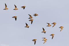 Golden Plovers on the wing (Steve (Hooky) Waddingham) Tags: bird wader british nature flight plover