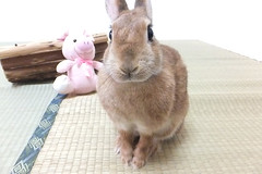 Ichigo san 1628 (Errai 21) Tags: いちごさん ichigo sanrabbit bunny cute netherlanddwarf brown ネザーランドドワーフ ペット うさぎ 小動物 ウサギichigo san 1628