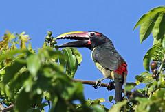 Aracari viridis (mazama973) Tags: bird oiseau frenchguiana guyane guyanefrançaise ramphastidae aracariviridis araçarivert greenaracari