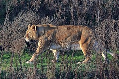 J78A1855 (M0JRA) Tags: wildlife parks doncaster people visitors animals lions tigers cats keepers otters otts